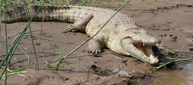 Etiopia, coccodrillo uccide pastore sul lago Abaya