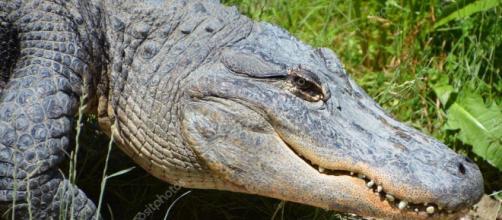 Un caimán americano noquea a un hombre de un cabezazo