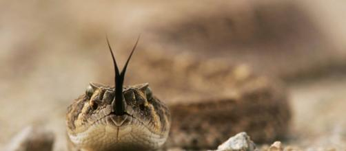 TEXAS/ Un hombre casi fallece al ser mordido por una serpiente de cascabel decapitada