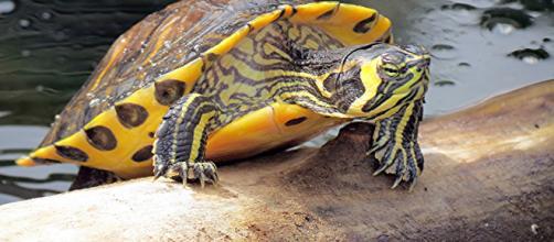 The yellow-bellied slider (Trachemys scripta scripta)   Flickr - flickr.com