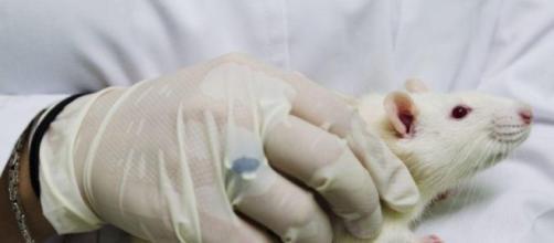 La UAB desarrolla terapia génica que revierte la obesidad y diabetes II