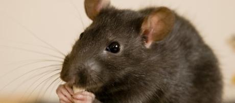 Erradicar las ratas podría ayudar a reforzar los arrecifes de coral