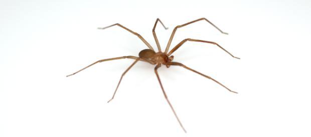 Loxosceles rufescens: il ragno violino