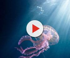 Pelagia noctiluca. Tra le specie più abbondanti nel Mediterraneo.