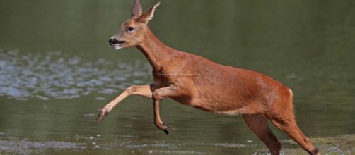 Roe Deer (Capreolus capreolus). Fonte: Our Local Voice - ourlocalvoice.co.uk