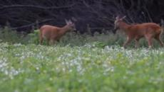 Deer drowned after swimming from Isle of Wight; misguided public assistance