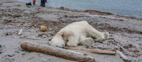 Un orso bianco è stato abbattuto alle isole Svalbard, in Norvegia, per aver attaccato un gruppo di turisti ferendo un addetto alla sicurezza.