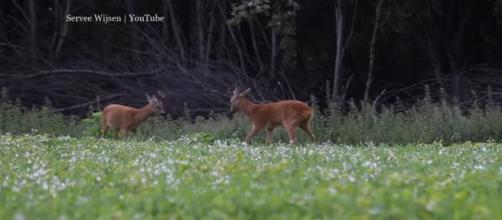 A roe deer died by drowning off Southsea after botched save effort - Image credit Servee Wijsen | YouTube