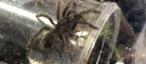 After jars with baby spiders were found in a car park, two Brazilian bird-eating spiders are on the loose. [Image @MiltonBroome/Twitter]