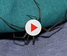 Donna morsa da un ragno violino: la testimonianza - theworldnews.net