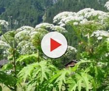 Panace di Mantegazza: la pianta che rende cechi arriva nel nostro paese