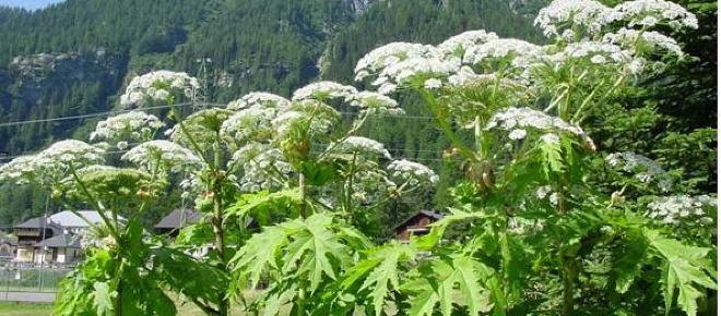 Panace di Mantegazza: la pianta tossica è in anche nel nostro Paese