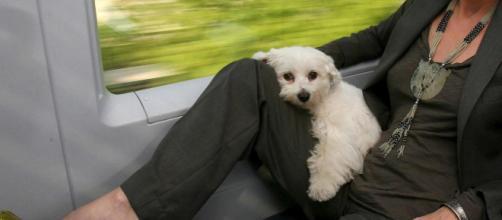Fido a bordo: cani di grossa taglia anche sui treni Italo - ilgiornale.it