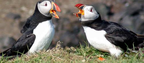 A pair of Atlantic puffins, Scotland (Image courtesy – Steve Deger, Wikimedia Commons)