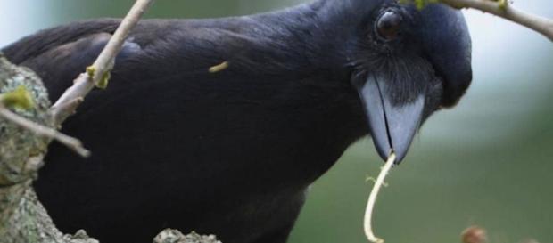Los cuervos de Nueva Caledonia prueban tener una inteligencia animal asombrosa