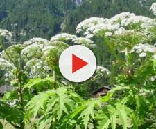 Panace di Mantegazza, la pianta che ustiona e provoca cecità