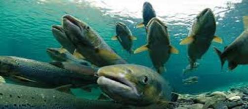 CHILE / Se escapan unos 690.000 salmones tratados con antibióticos