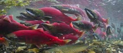 CHILE / La fuga de los salmones tratados con antibiótico causará graves daños al ambiente