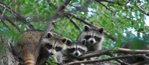 A deadly virus is causing raccoons to die in Central Park. [Image source: garyjwood - Wikimedia Commons]