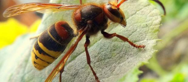 Le punture di calabroni possono portare a conseguenze anche letali