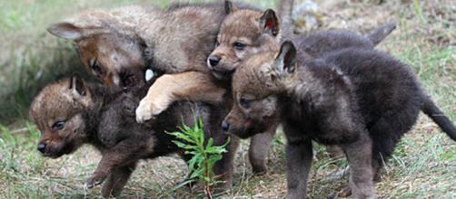 Cuccioli di lupo: tornano in Friuli dopo quasi un secolo