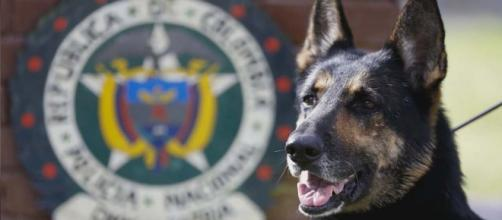 A Colombian drug sniffing dog has a $7,000 bounty on her head for ruining a drug cartel's business. [Image Wochit News/YouTube]
