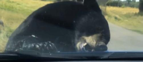 Black bear attacks family's car in the Woburn Safari Park [Image Bạypo dyoawy/YouTube]