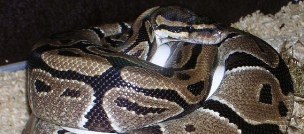 A Kensington woman woke up to find a royal python curled up in her bed. [Image Pixabay]