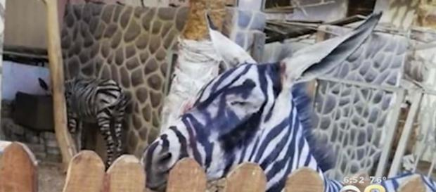 A zoo in Cairo, Egypt has been accused of painting a donkey to look like a zebra. [Image CBS Philly/YouTube]