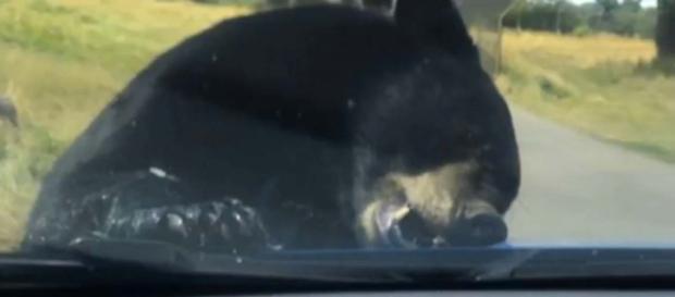 Black bear attacks family's car in the Woburn Safari Park [Image Bạypo dyoawy/YouTube]
