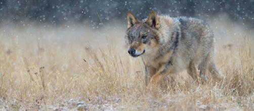 CHERNÓBIL / Lobos mutantes podrían esparcir genes alterados a lo largo de Europa