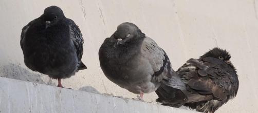 Roma, carabiniere spara e uccide piccione: indagato