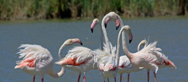 Colony of Greater Flamingo in the Camargue, France (Image courtesy – Andrea Schaffer, Wikimedia Commons)