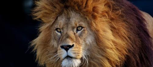 SUDÁFRICA / Tres cazadores furtivos mueren tras ser atacados por leones