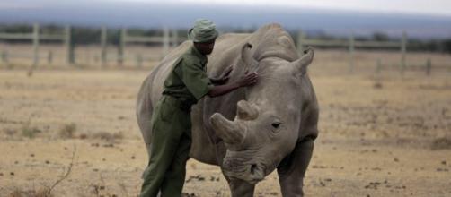 Científicos crean embriones híbridos para salvar al rinoceronte blanco del norte