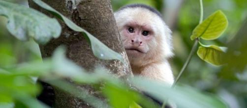 Monos capuchinos son avistados por primera vez utilizando rocas como herramientas