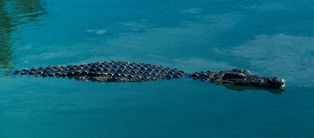 Un enorme coccodrillo si starebbe aggirando nei canali di Maccarese alle porte di Roma