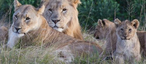 SUDÁFRICA / Leones devoran a varios cazadores que intentaban cazar rinocerontes