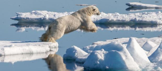 A male Polar bear jumping from one ice floe to another in Svalbard. [Image courtesy – Andreas Weith, Wikimedia Commons]