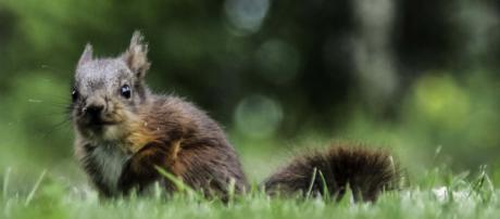 A baby squirrel scared a pedestrian in Karlsruhe, Germany and he called police. [Image Pixabay]