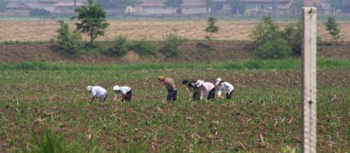 North Korean farmers toiling in their field. [Image courtesy – Beyond, Wikimedia Commons]