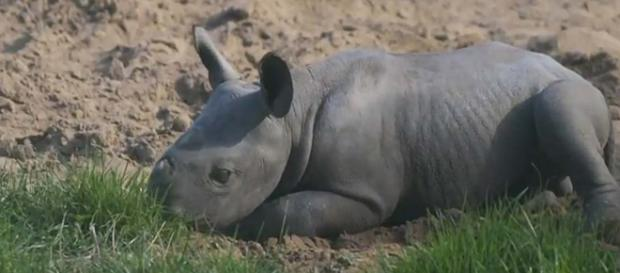 A new baby black rhino calf went outside for the first time at Chester Zoo. [Image Associated Press/YouTube]