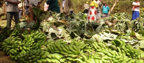 ÁFRICA/ Los cultivadores de banano temen que el Brexit afecte sus negocios