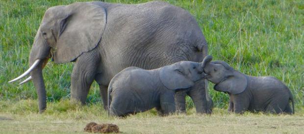 Los elefantes tienen un gen que les protege del cáncer
