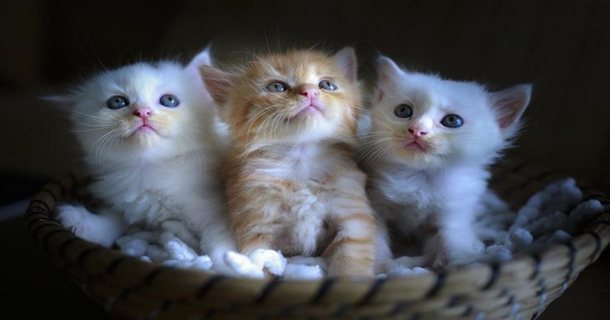 cute basket kittens cat kitten pixabay lovers