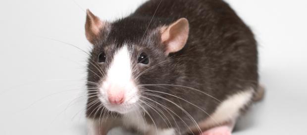 Incredibile: topo entra in casa e morde il dito di un medico