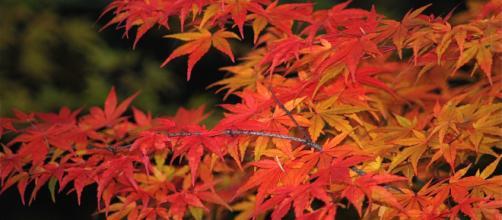 Le bellissime foglie di acero rosso conterrebbero un vero e proprio botox vegetale capace di trattare efficacemente rughe e macchie cutanee