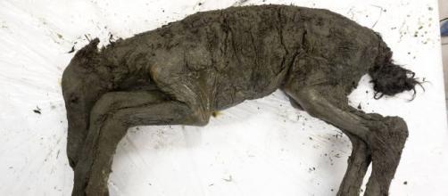 Cavallo mummificato ritrovato in Siberia
