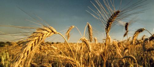 El futuro de la alimentación podría estar en el recién descifrado genoma del trigo