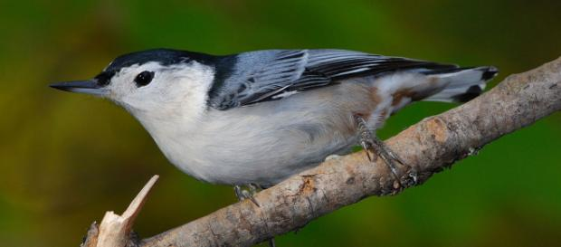 A white-breasted Nuthatch perched on a branch. [Image courtesy – Gary Irwin, Wikimedia Commons]